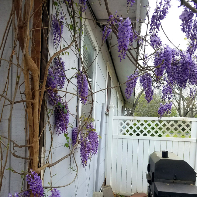 Wisteria's hanging blooms on my patio