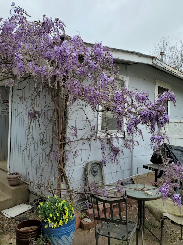 Wisteria on the House