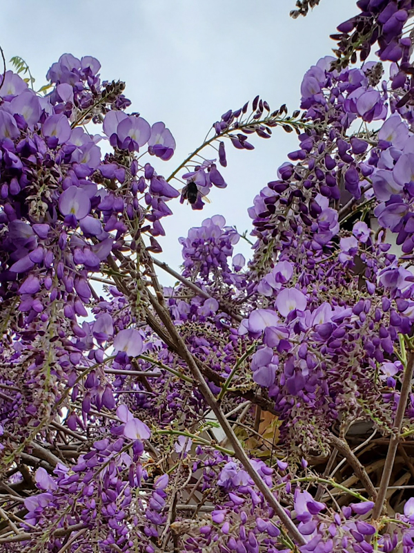Bee on the Wisteria