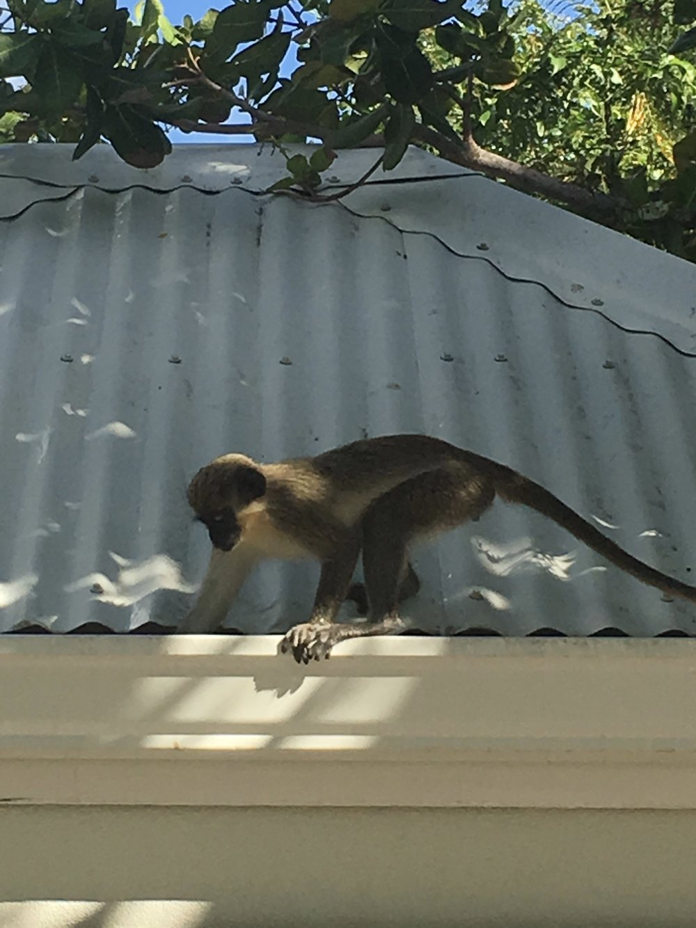 vervet monkeys snacking on the mango trees scattered about the property.