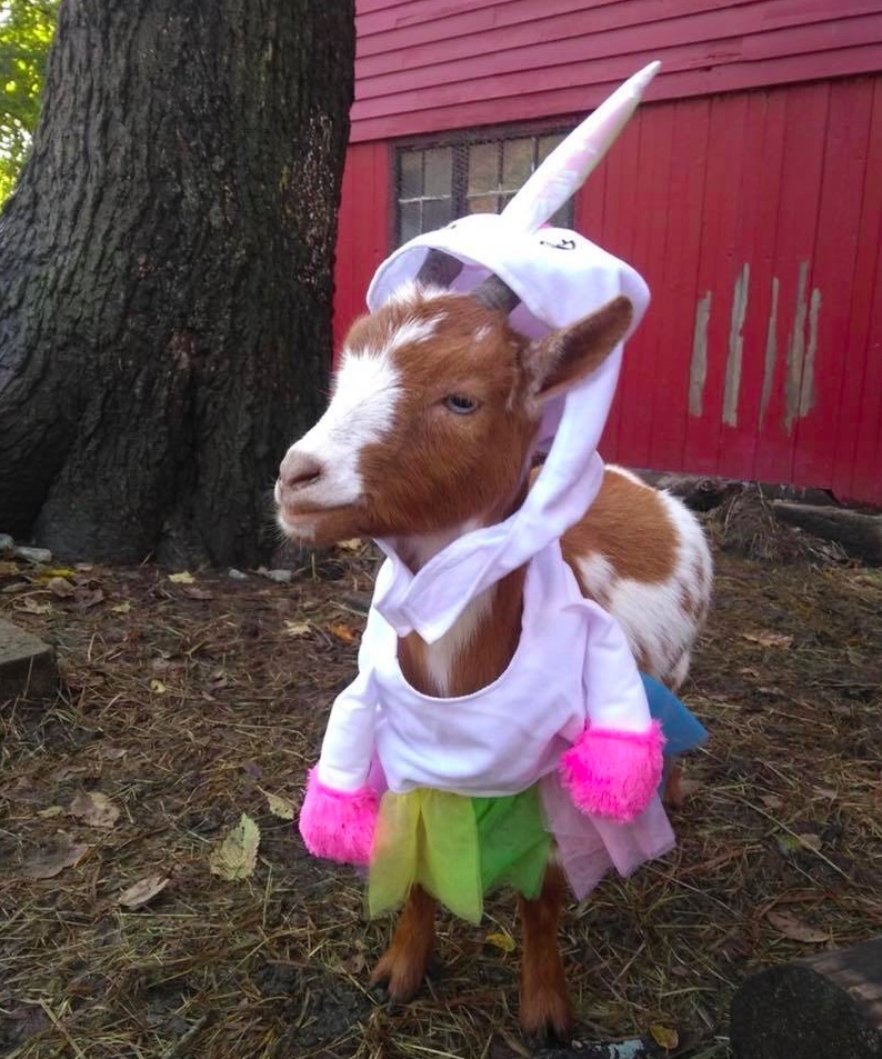 Meet Hermione, our goat. - She is very sweet, isn't she?