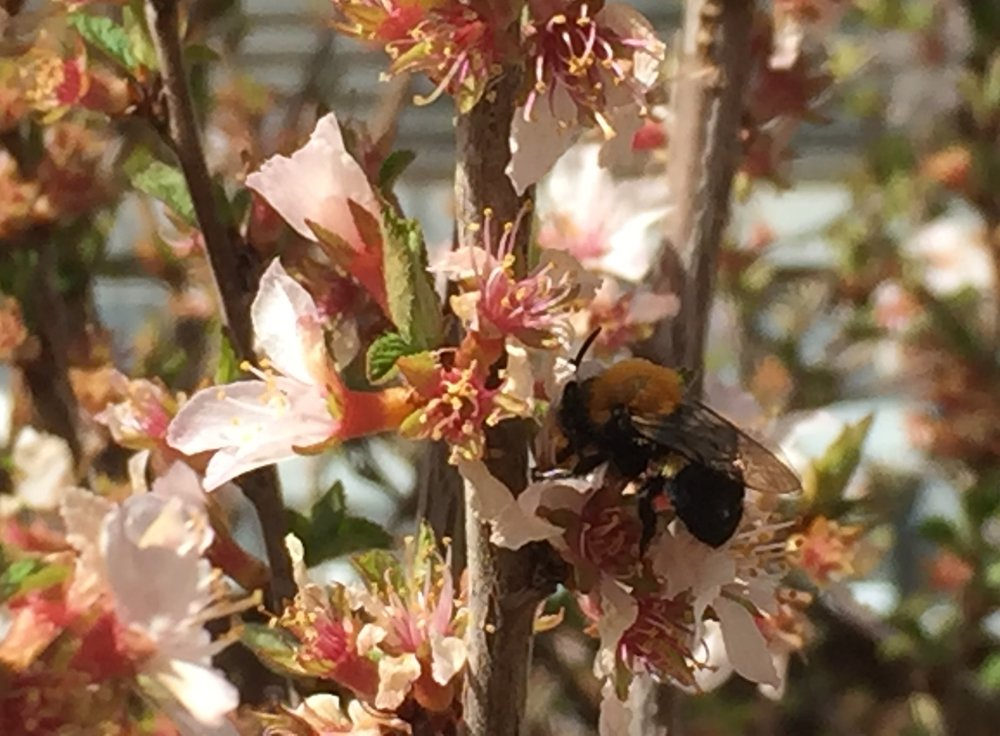 Honey bee on apple blossom