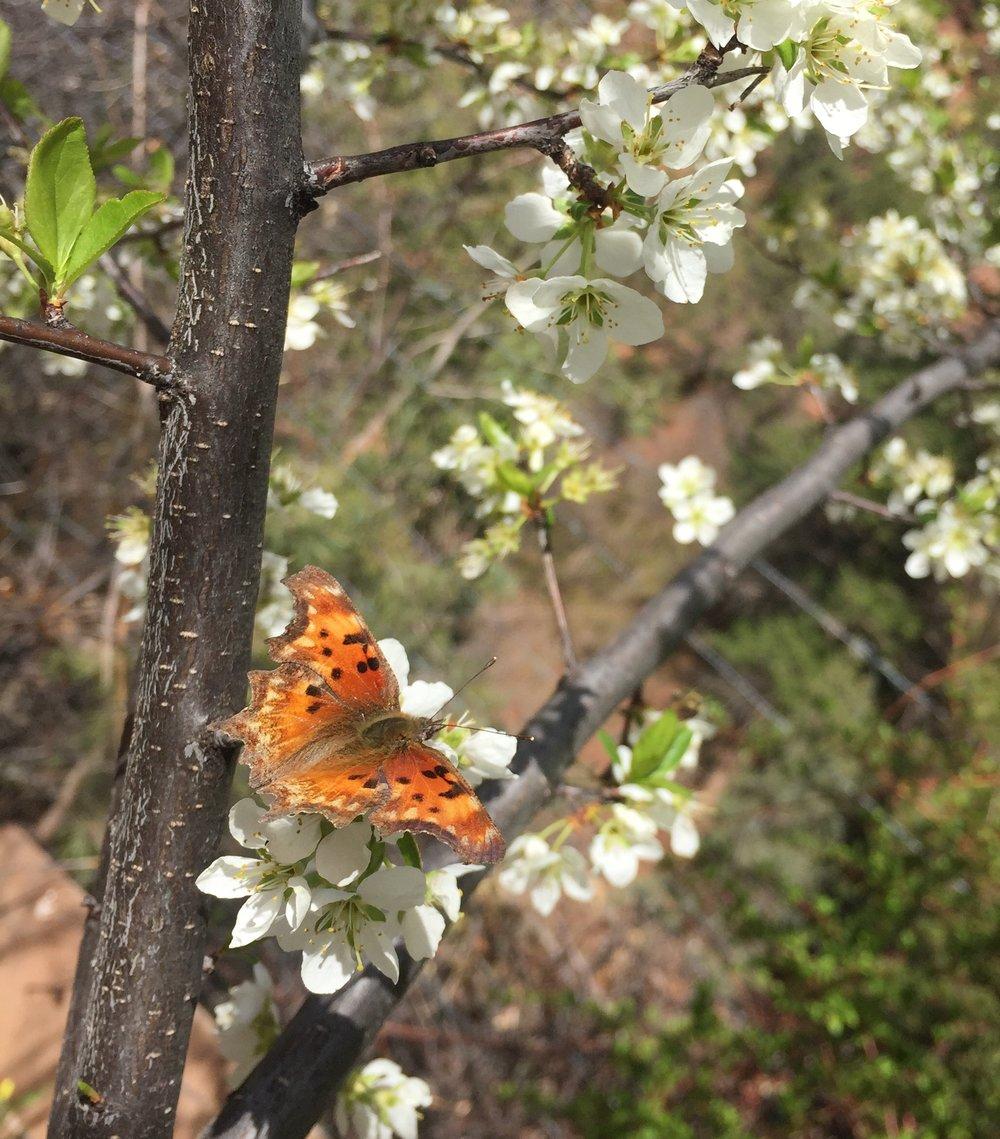 Tortoiseshell Butterfly on blossom