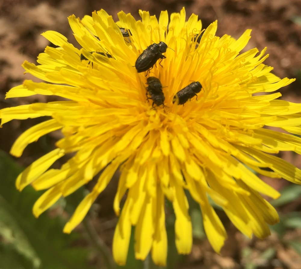 Unknown pollinators on dandelion flower