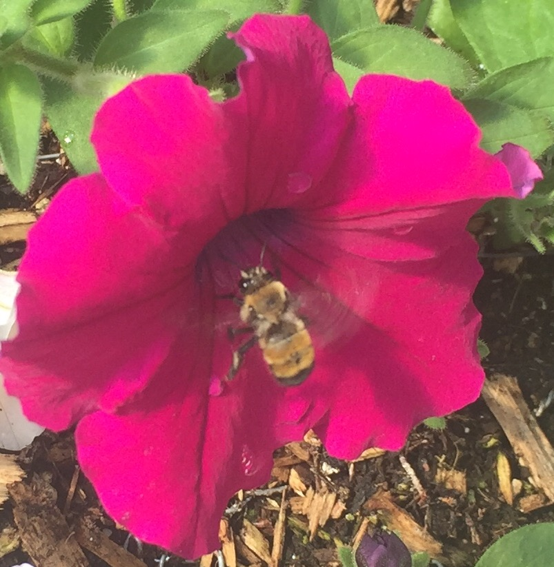 Our first visiting pollinator, a bumble bee