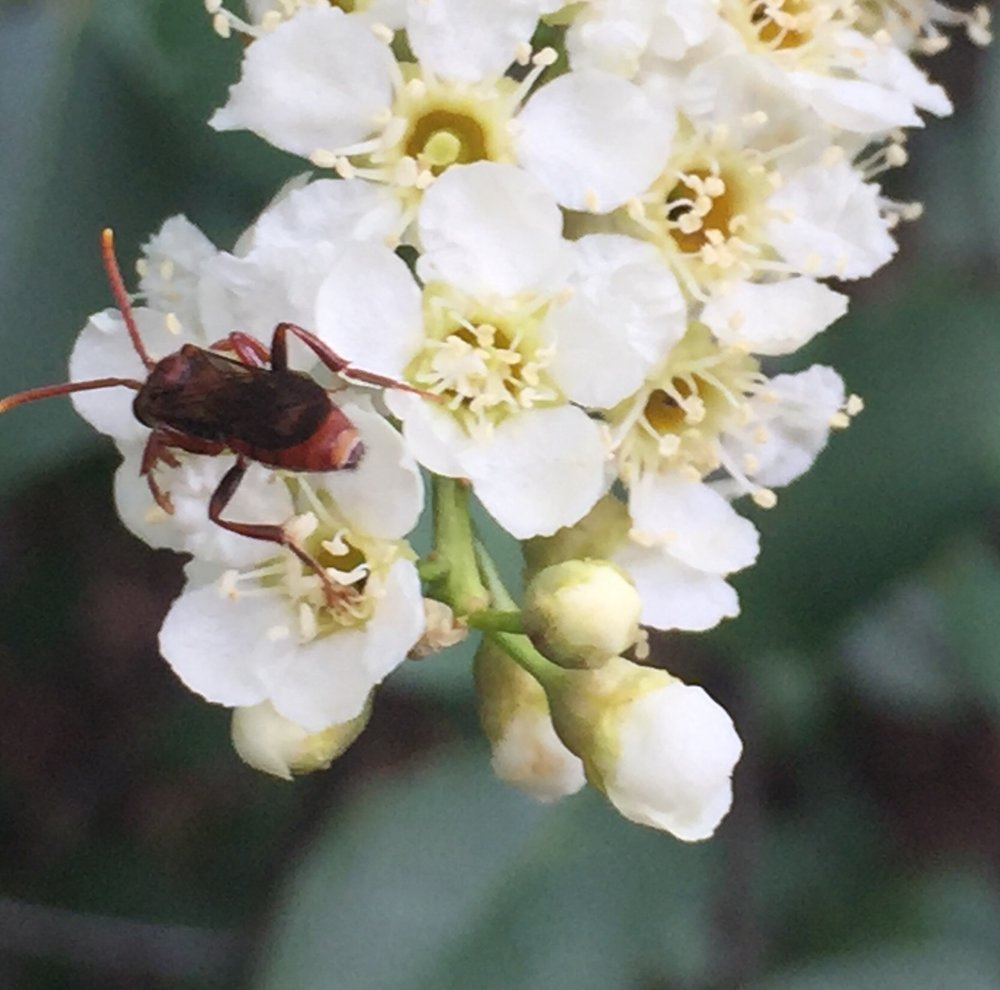 Beetle on Chokeberry flower