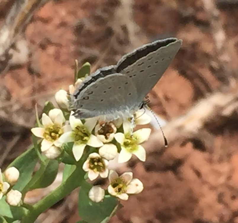 Western Tailed Blue Butterfly on spring flower
