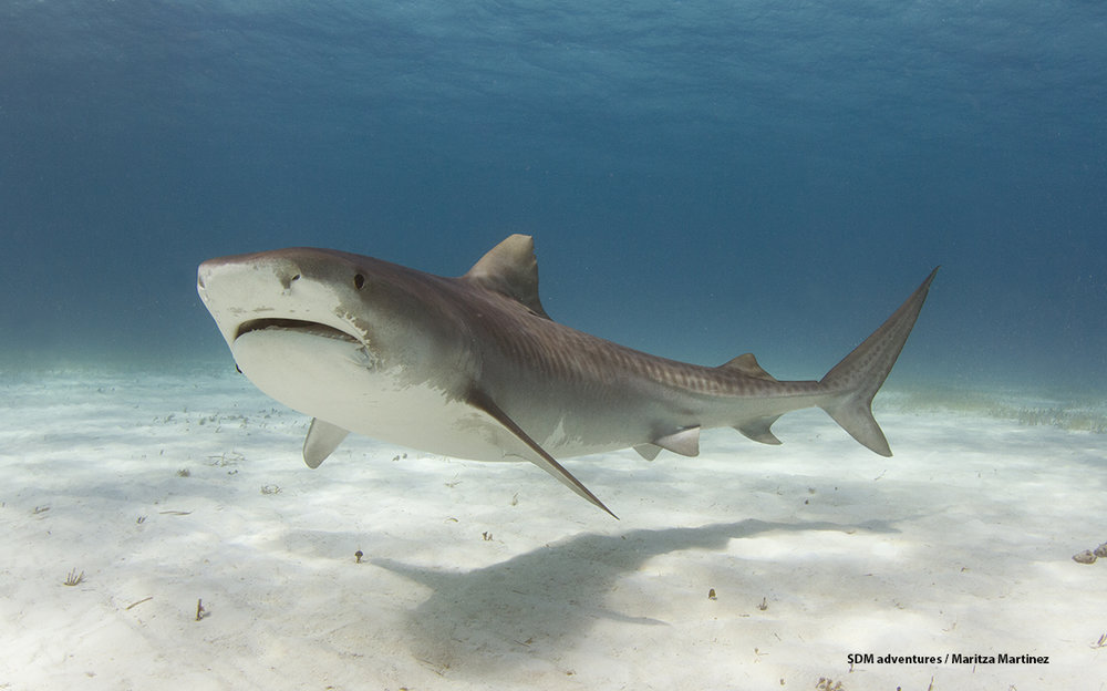 New Girl the tiger shark.