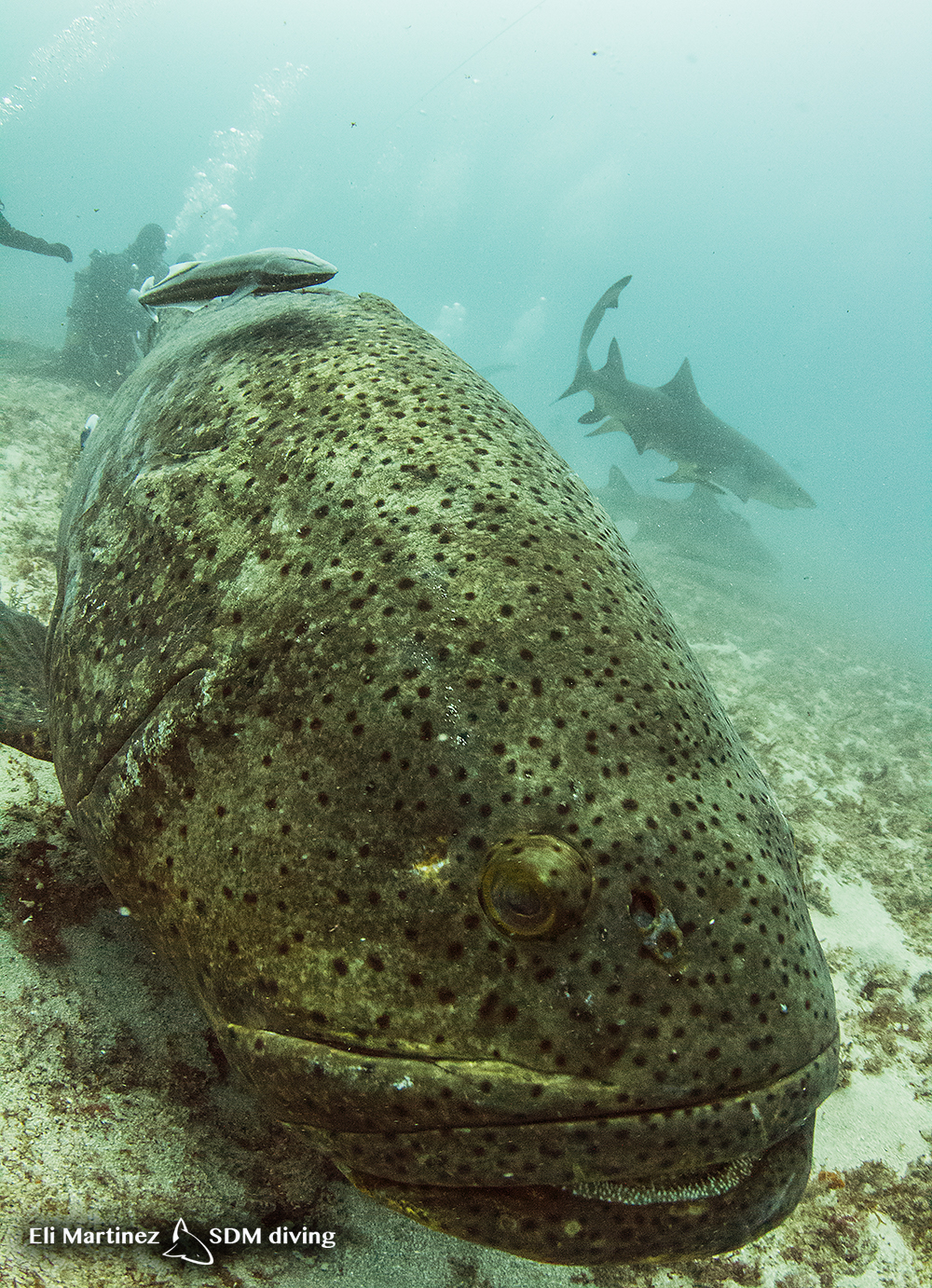 goliath grouper.jpg