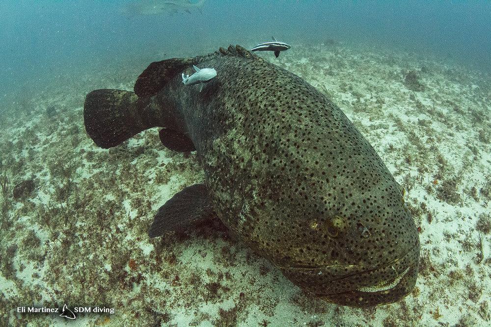 grouper 2.jpg