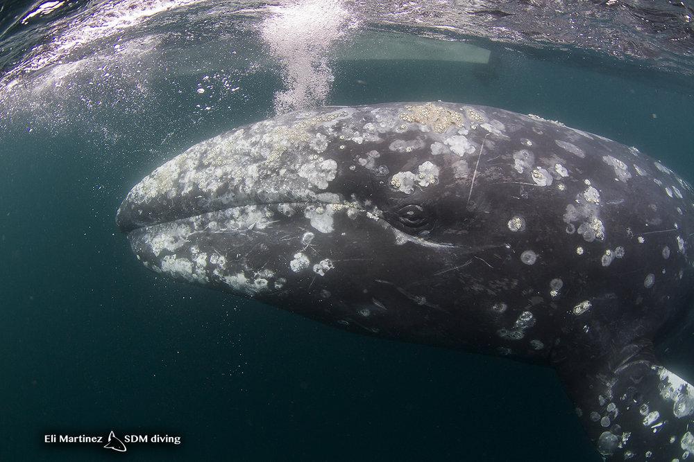 grey whale 2.jpg