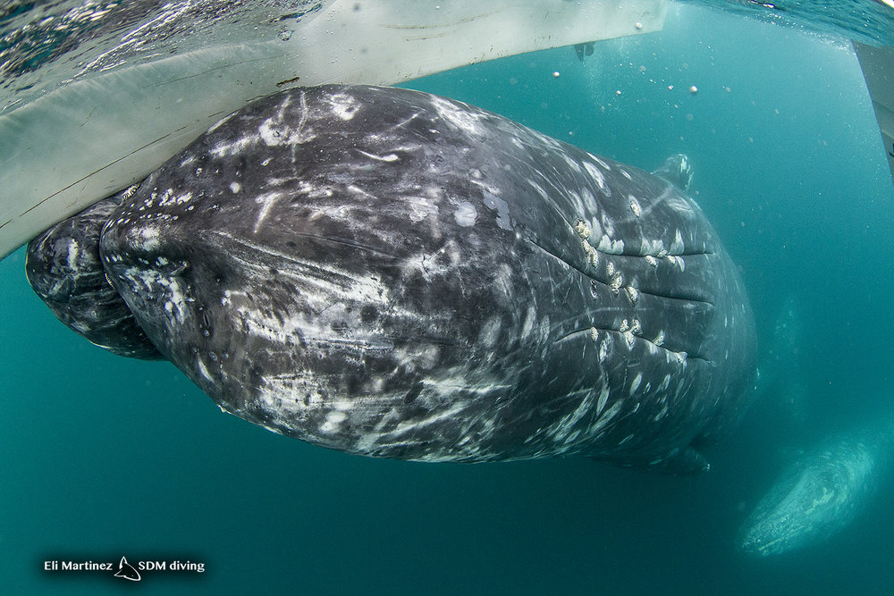grey whale 3.jpg