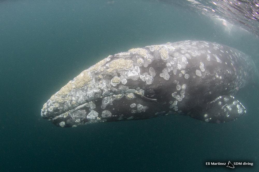 grey whale.jpg