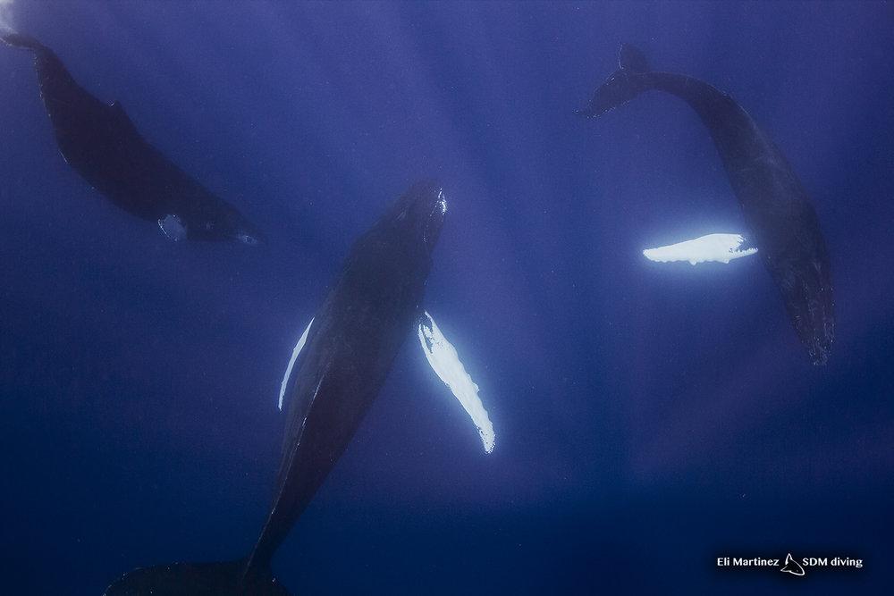 3 humpback whales 4.jpg