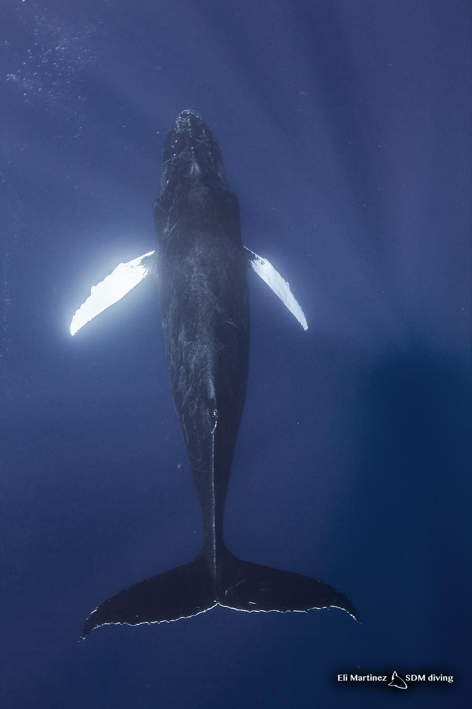 humpback 1.jpg