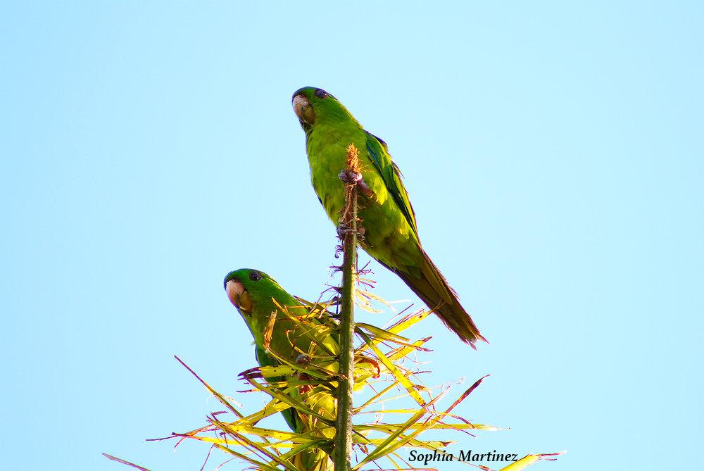 green parakeets.jpg
