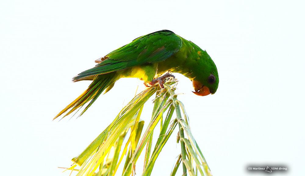 Green Parakeet off Mcallen, TX.