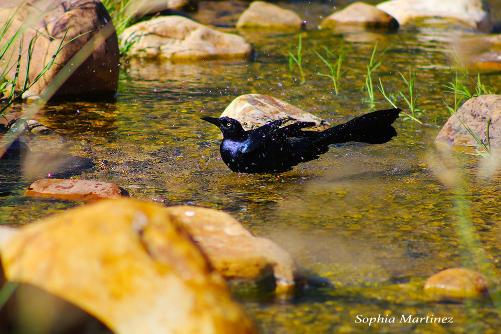 Grackle Bath.jpg