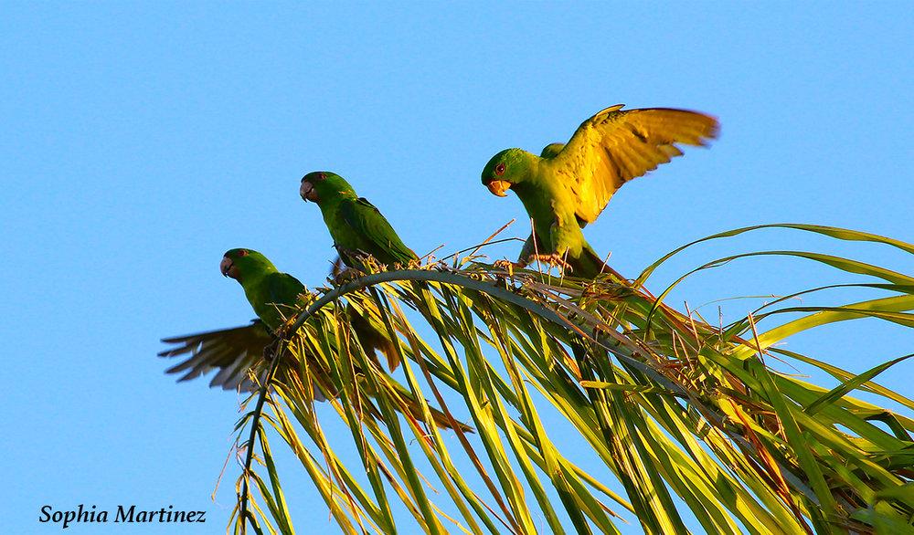 green parrakeets 4.jpg