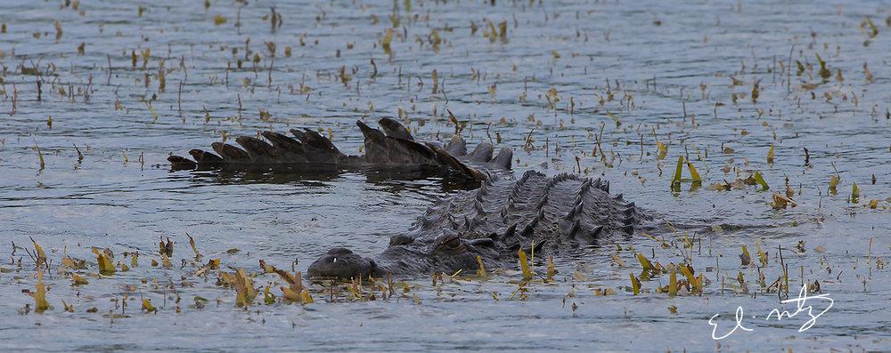 croc 5.jpg
