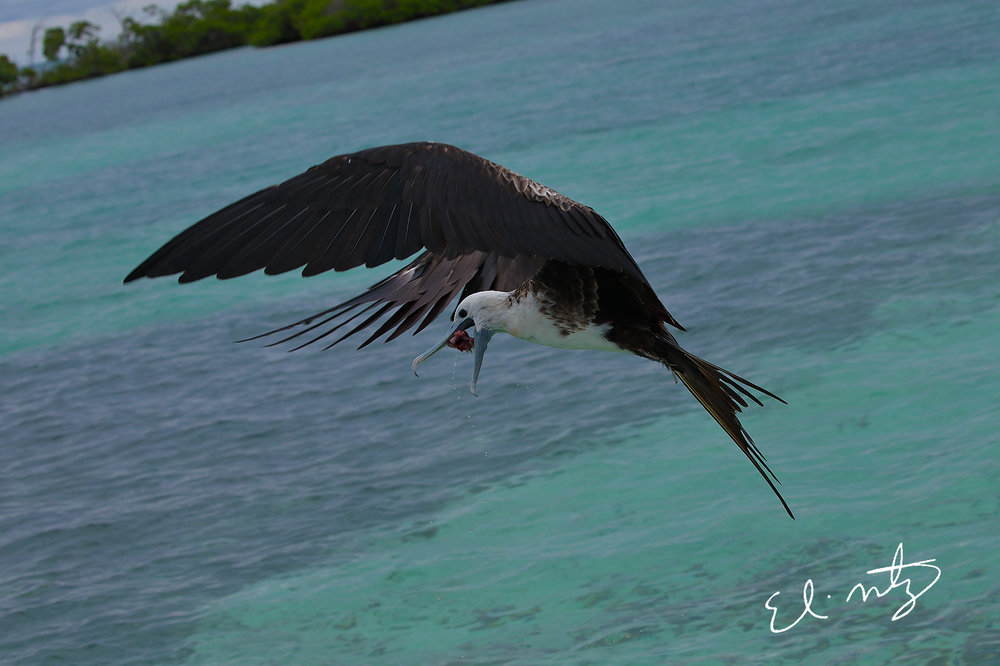 Majestic Frigate Bird