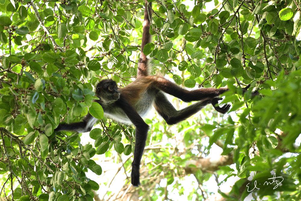 spider monkey.jpg