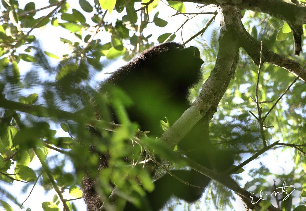 howler monkey 5.jpg
