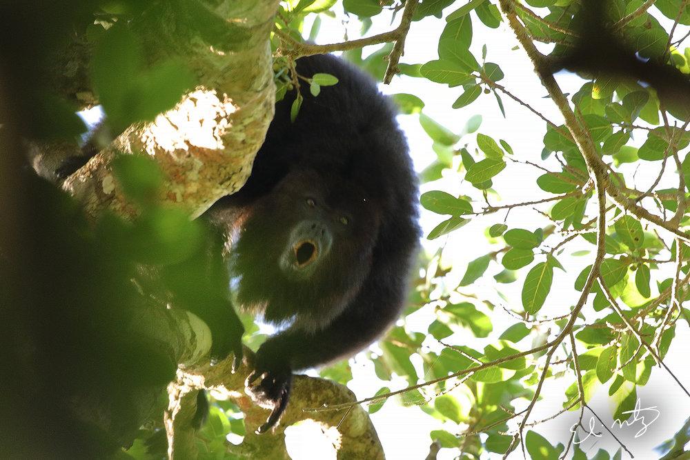 howler monkey 4.jpg