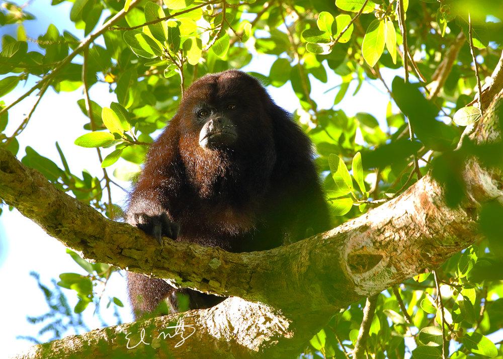 howler monkey 7.jpg