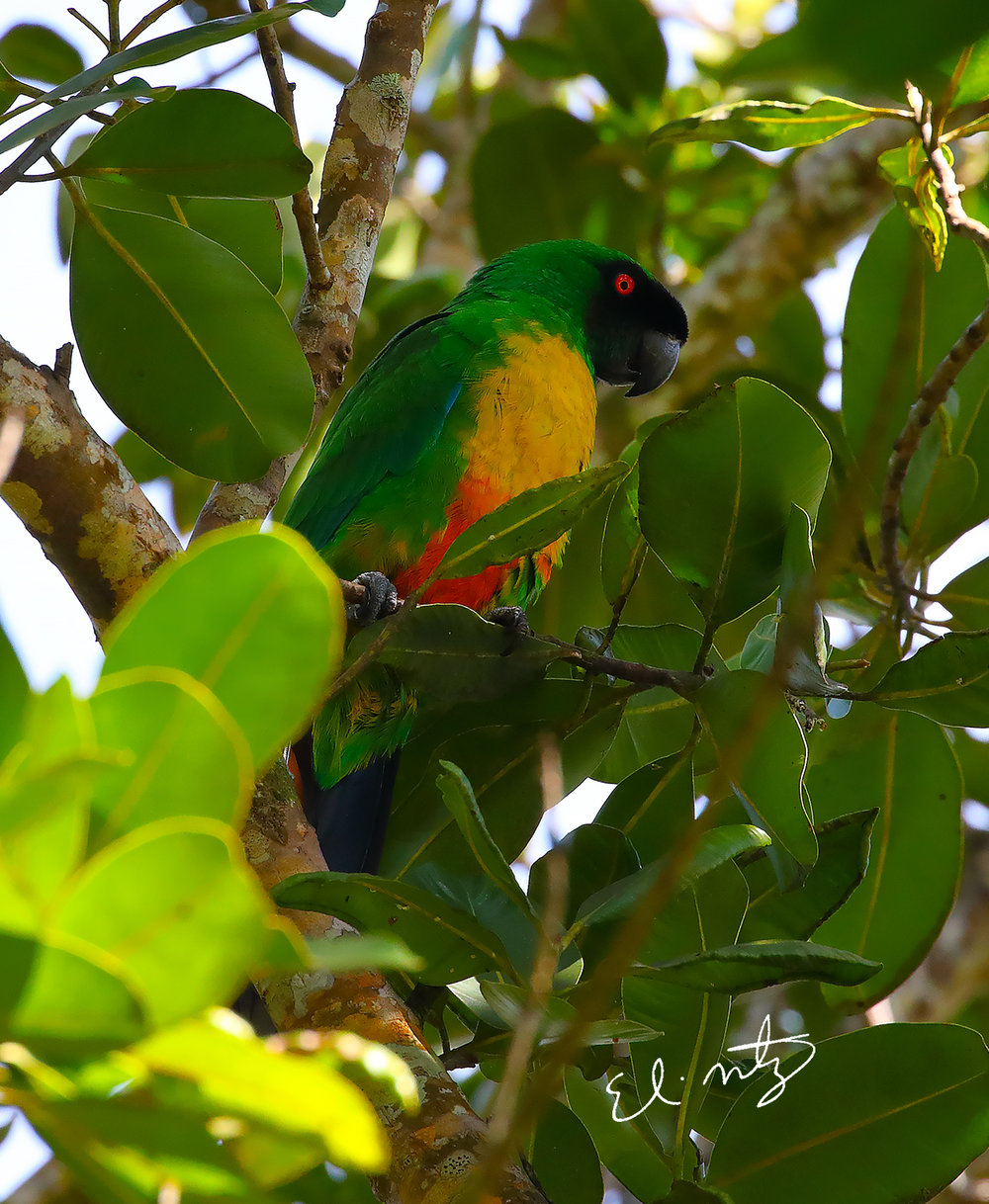 Masked-Shining Parrot