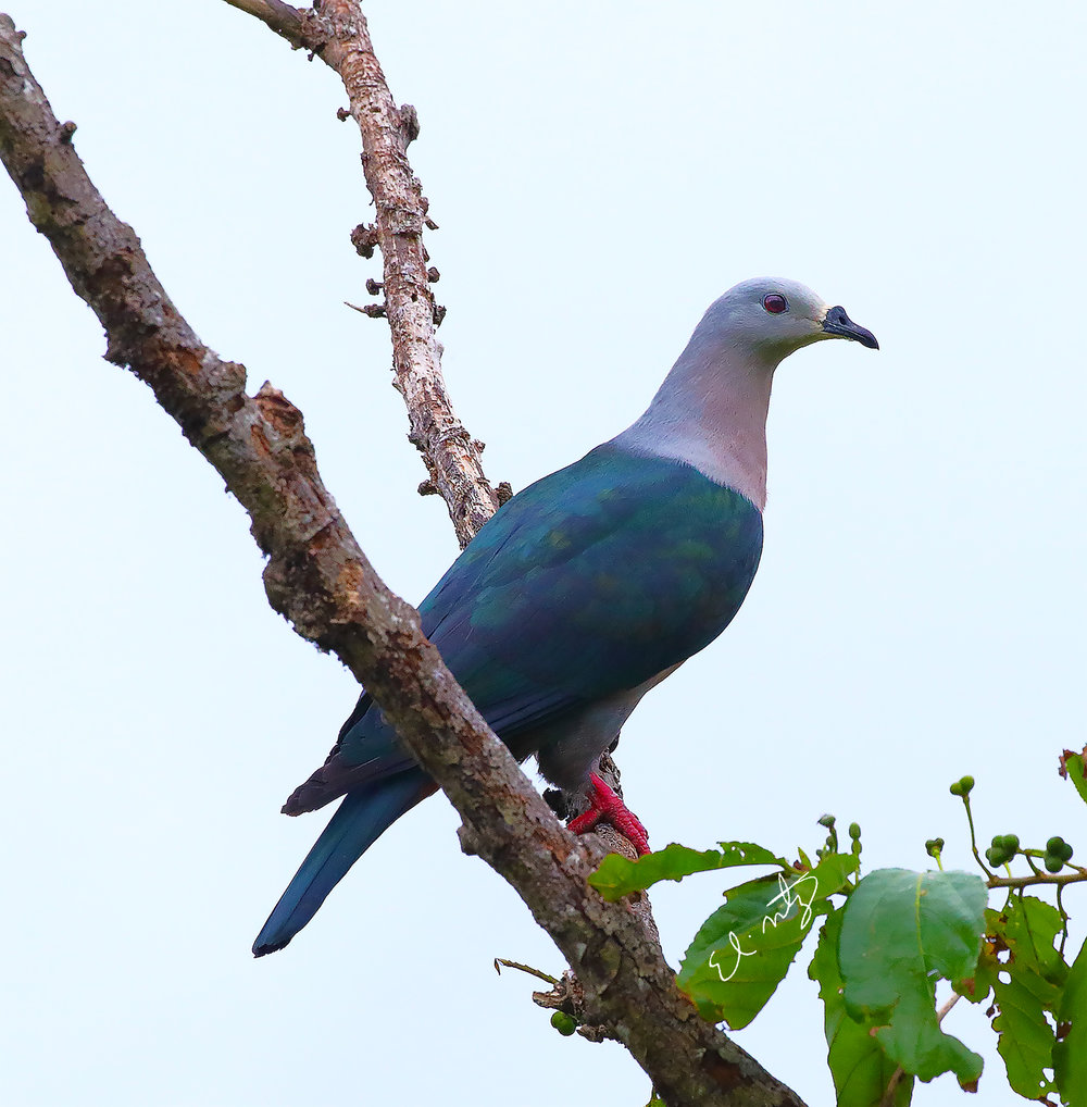 Imperial Royal Pigeon
