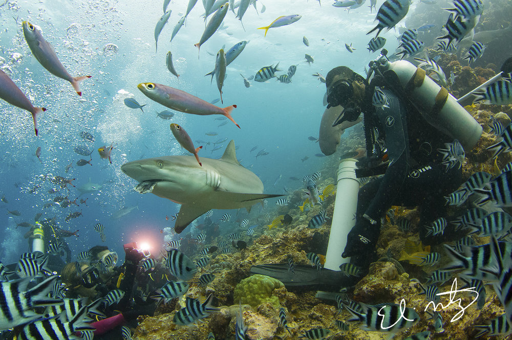 Sophia C. with grey reef shark