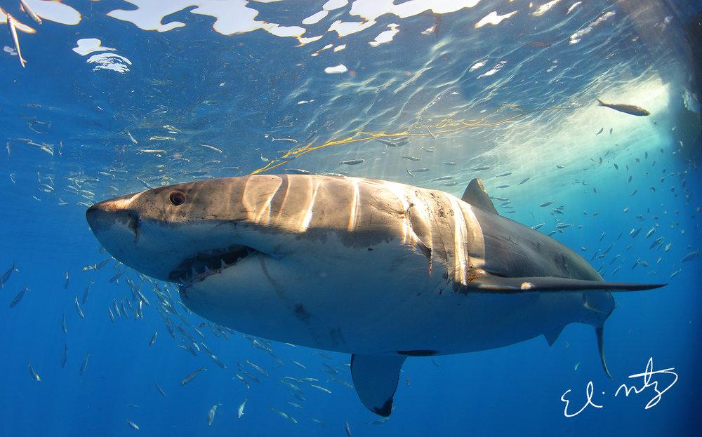 white shark 2.jpg