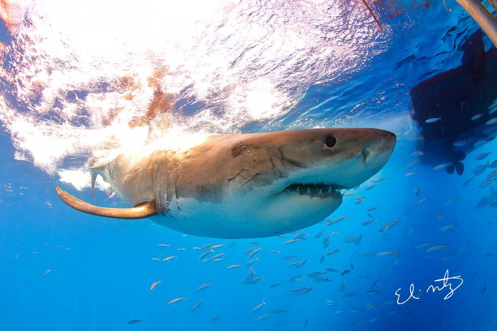 white shark 6.jpg