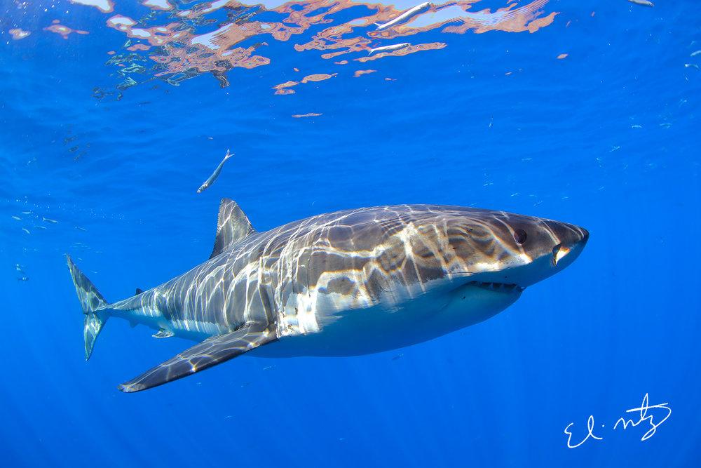 white shark 9.jpg
