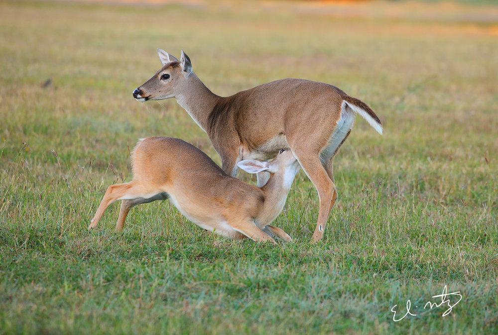 moma deer.jpg