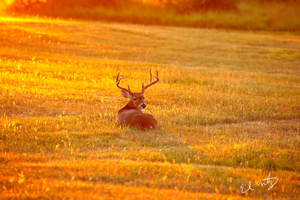 deer laying down.jpg