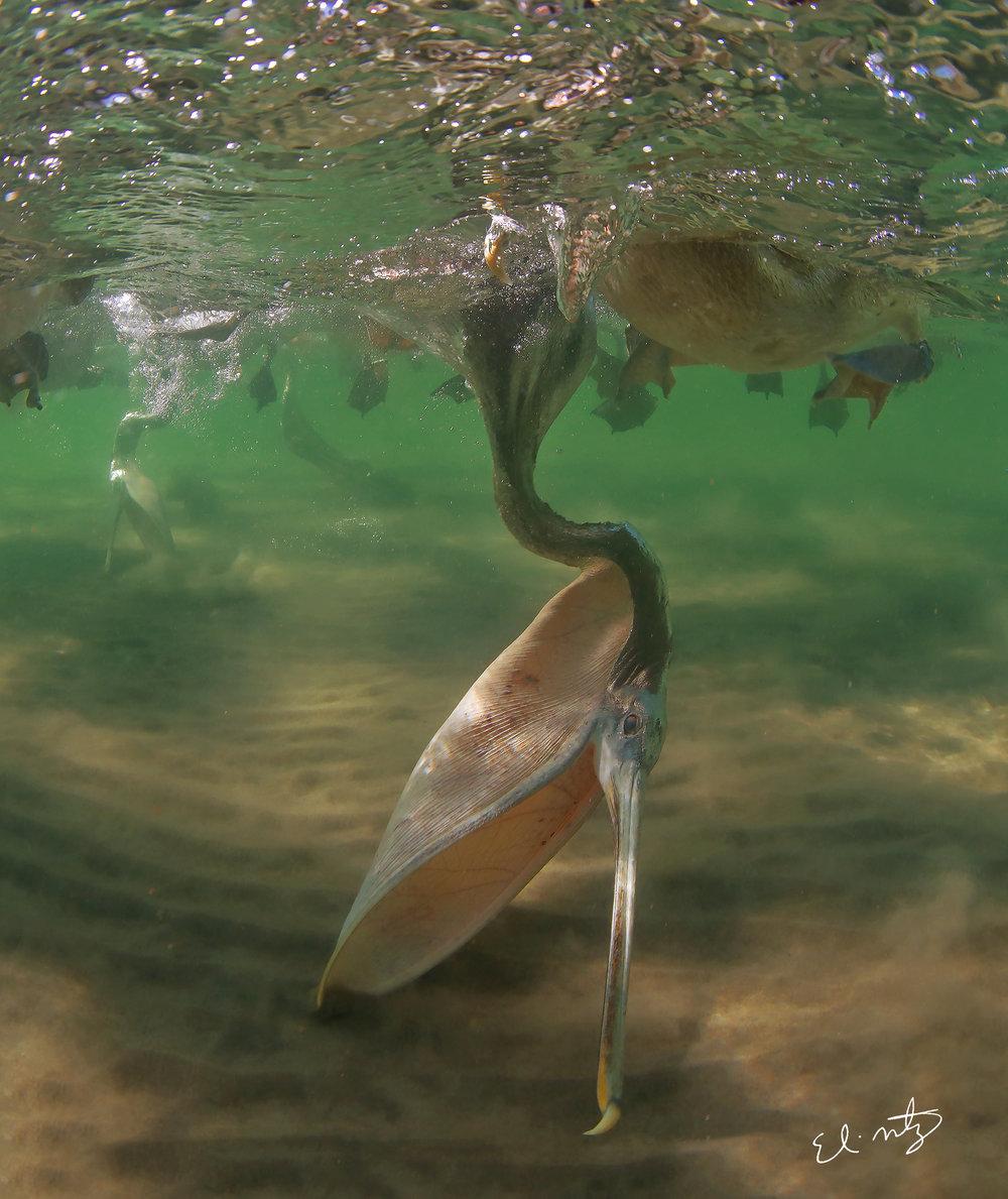pelican dive.jpg