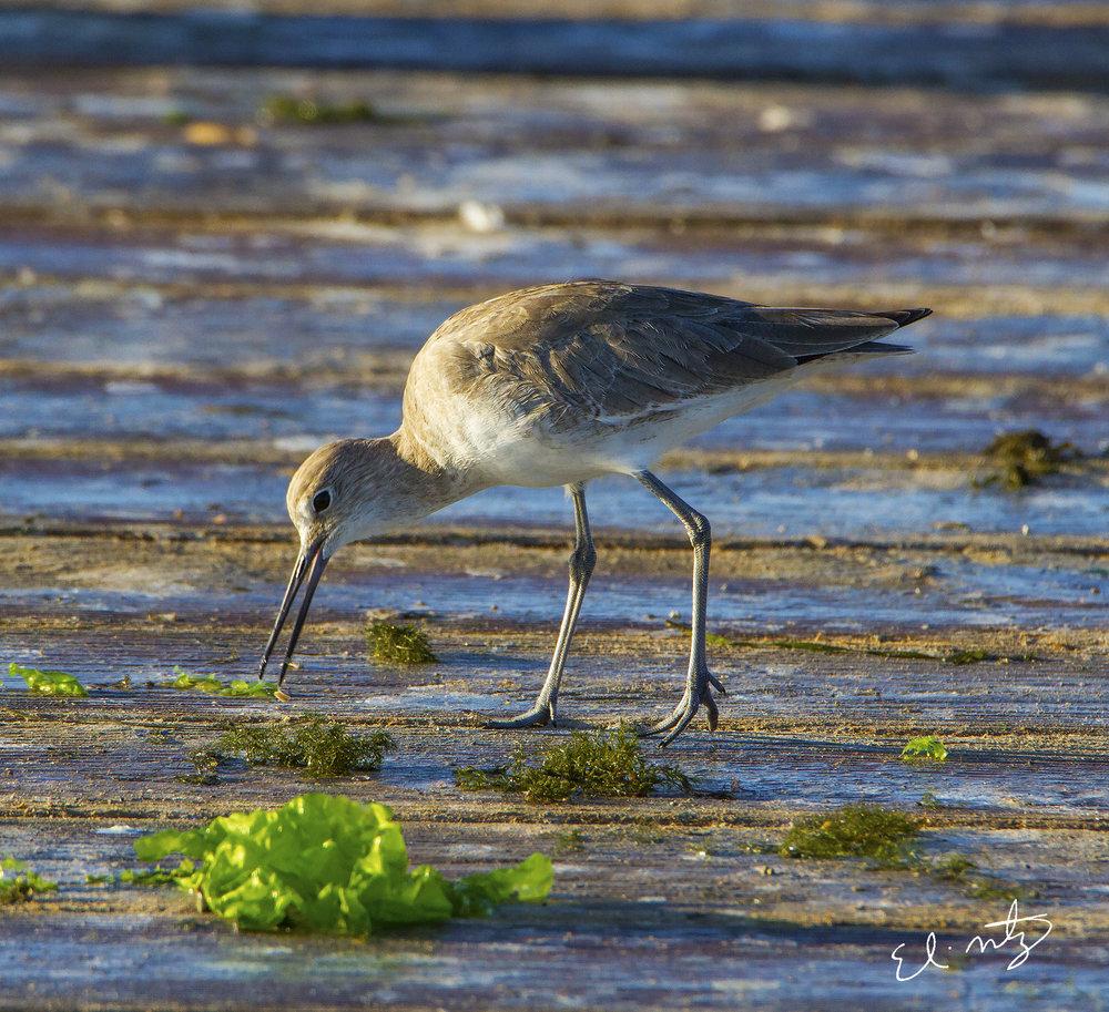 shore bird.jpg
