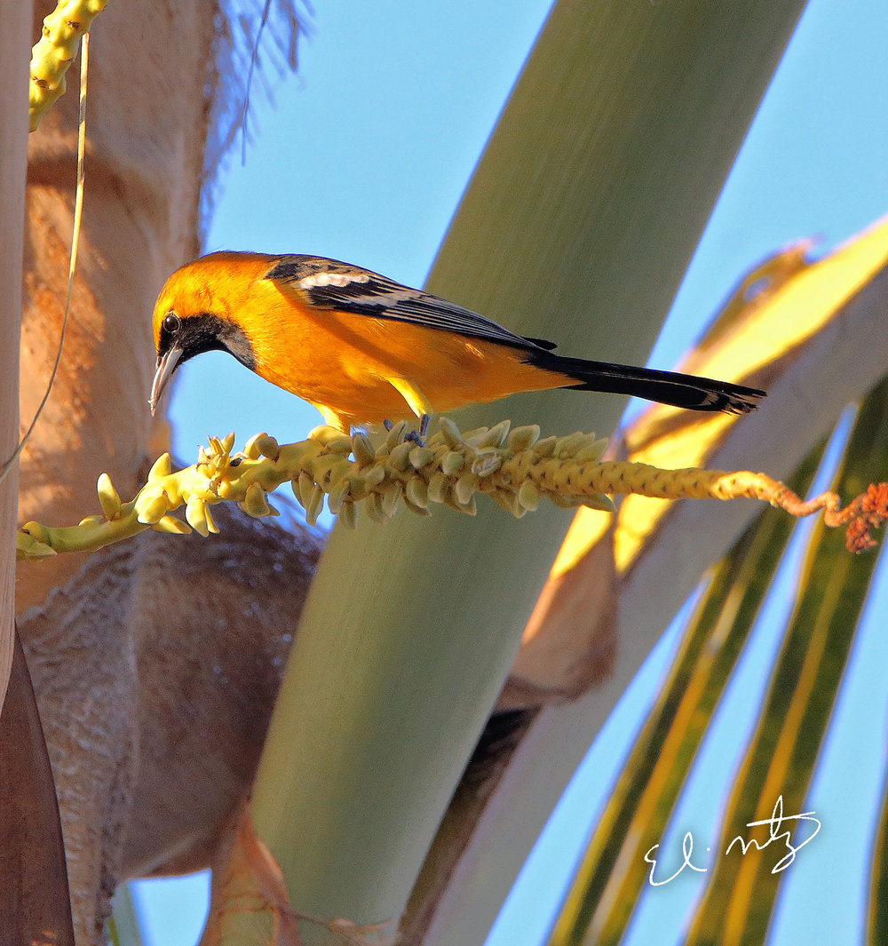 hooded oriole 3.jpg
