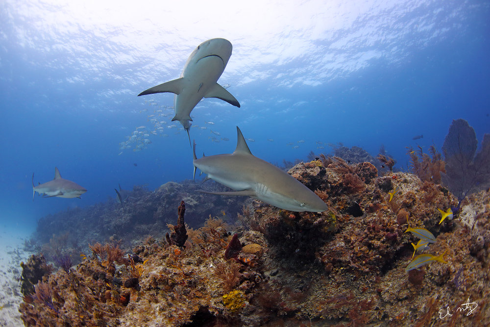 reef shark 5.jpg