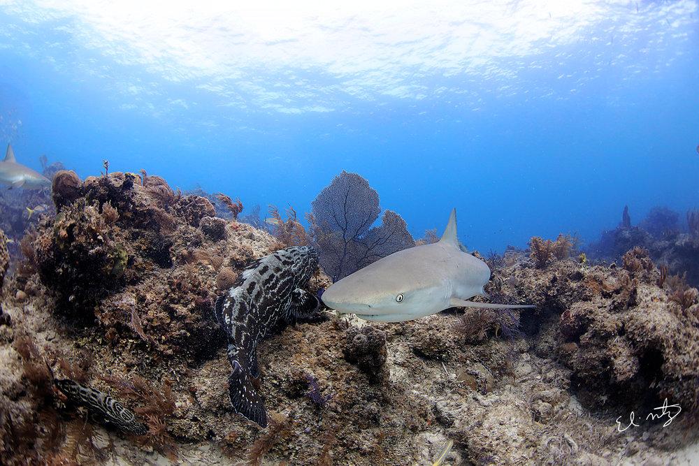 reef shark 7.jpg