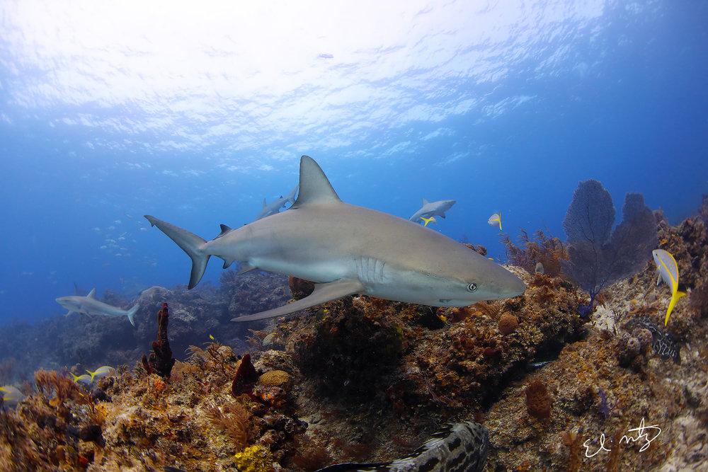 reef shark 8.jpg