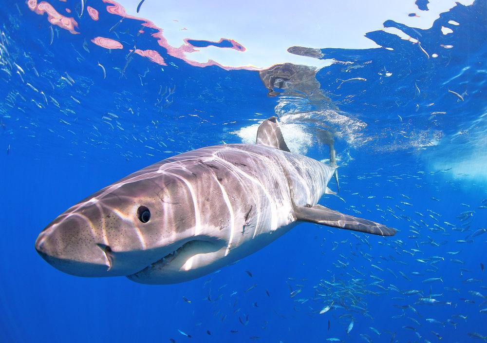 white shark 1A.jpg