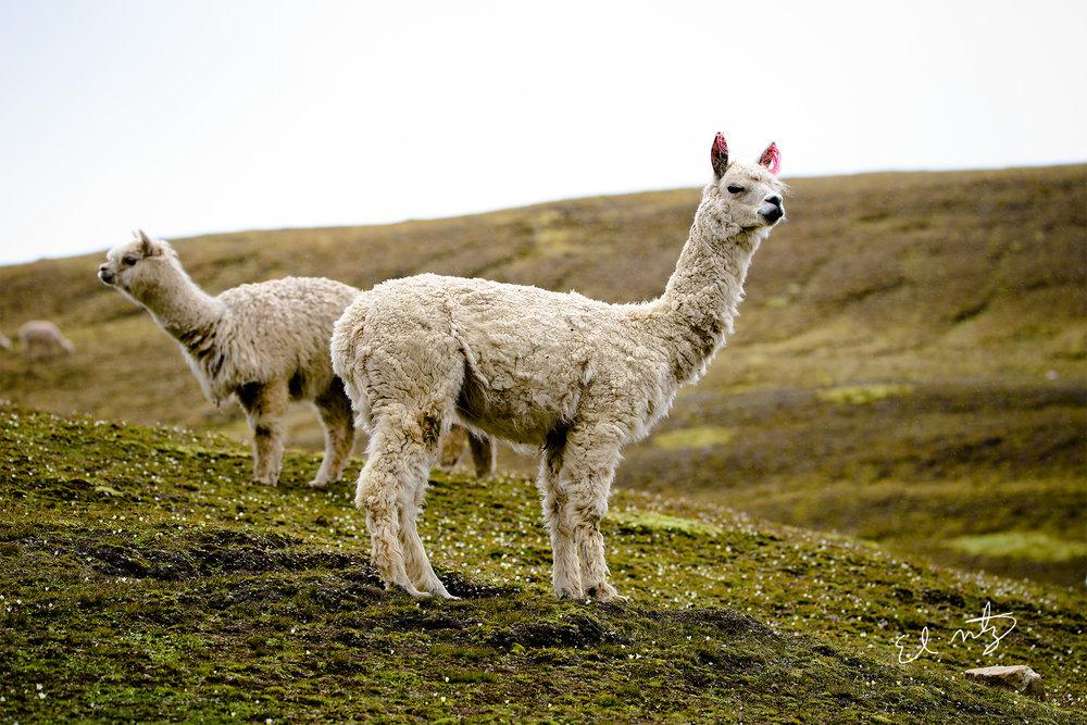 alpaca 6.jpg