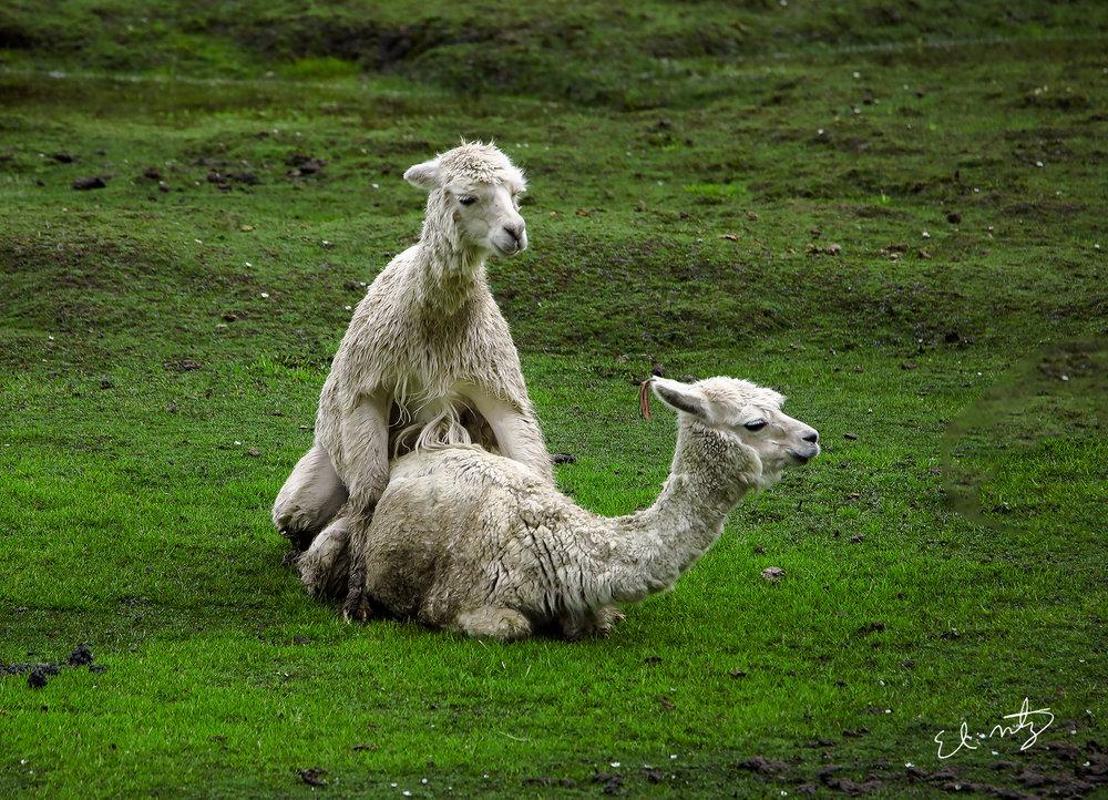 alpaca sex.jpg