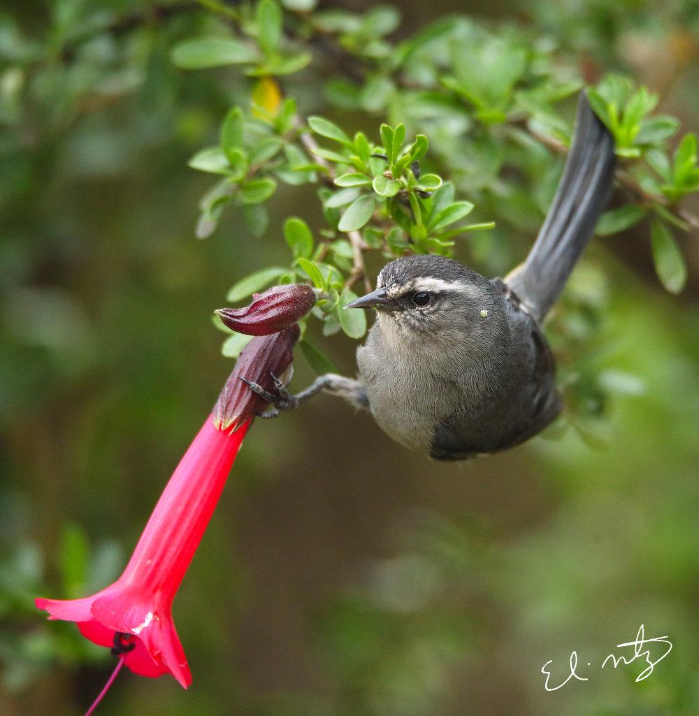 grey bird.jpg