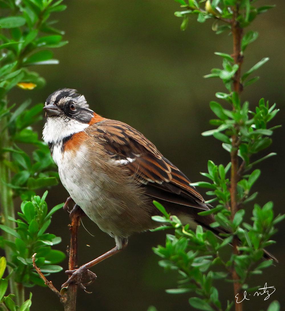 rufous-collared sparrow 3.jpg