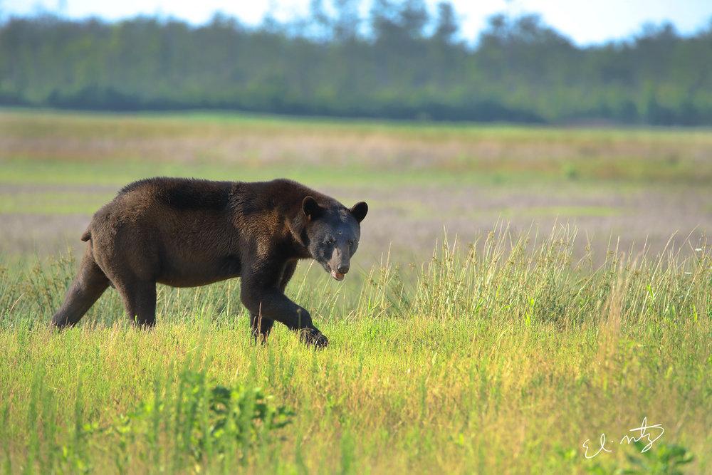 black bear 5.jpg