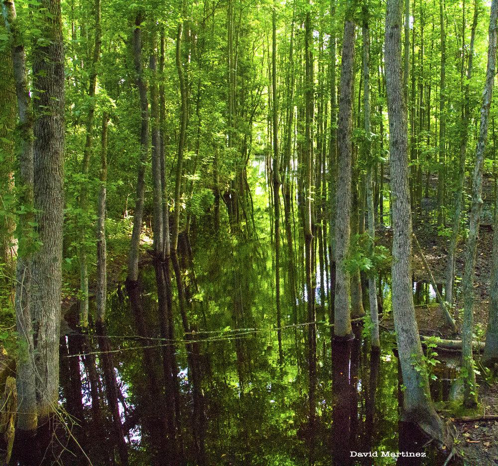 pungo swamp.jpg